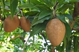 Benefits Of Sapodilla Fruit Good For The Heart And Blood Vessels