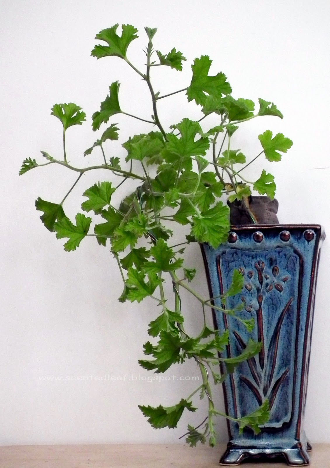 Scented Leaf Pelargoniums Trained As Cascade Bonsai