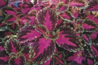 Coleus Scutellarioides herb to treat hemorrhoids