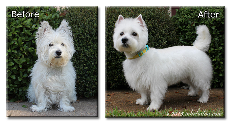 Before and after photo of Pierre Westie
