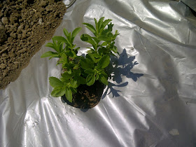 Lush Green Stevia Plant Growth