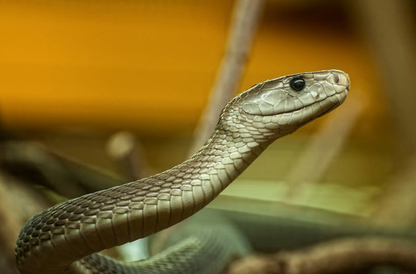 Animal You: Black Mamba