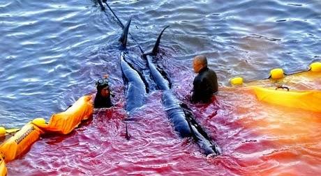 500 golfinhos capturados em caçada anual no Japão (com video)