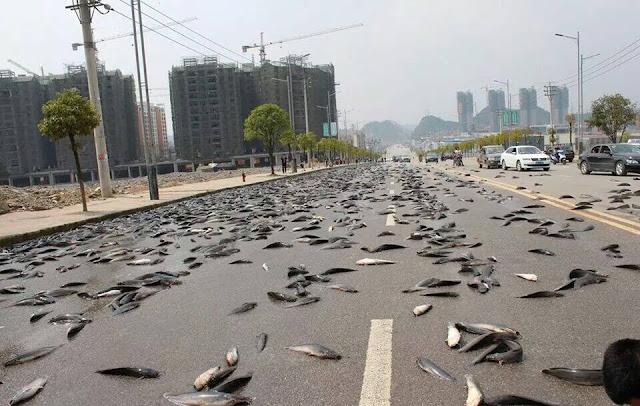 Ikan Keli Banjiri Jalan Raya Di China Jadi Viral