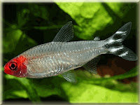 Rummynose Tetra Fish Pictures