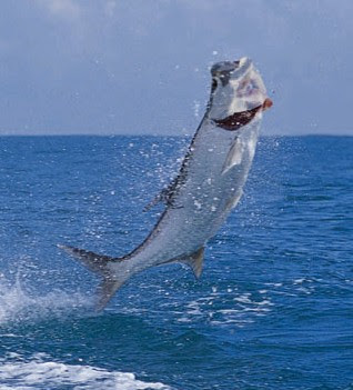 Beautiful Fastest Fish In The World Tarpon