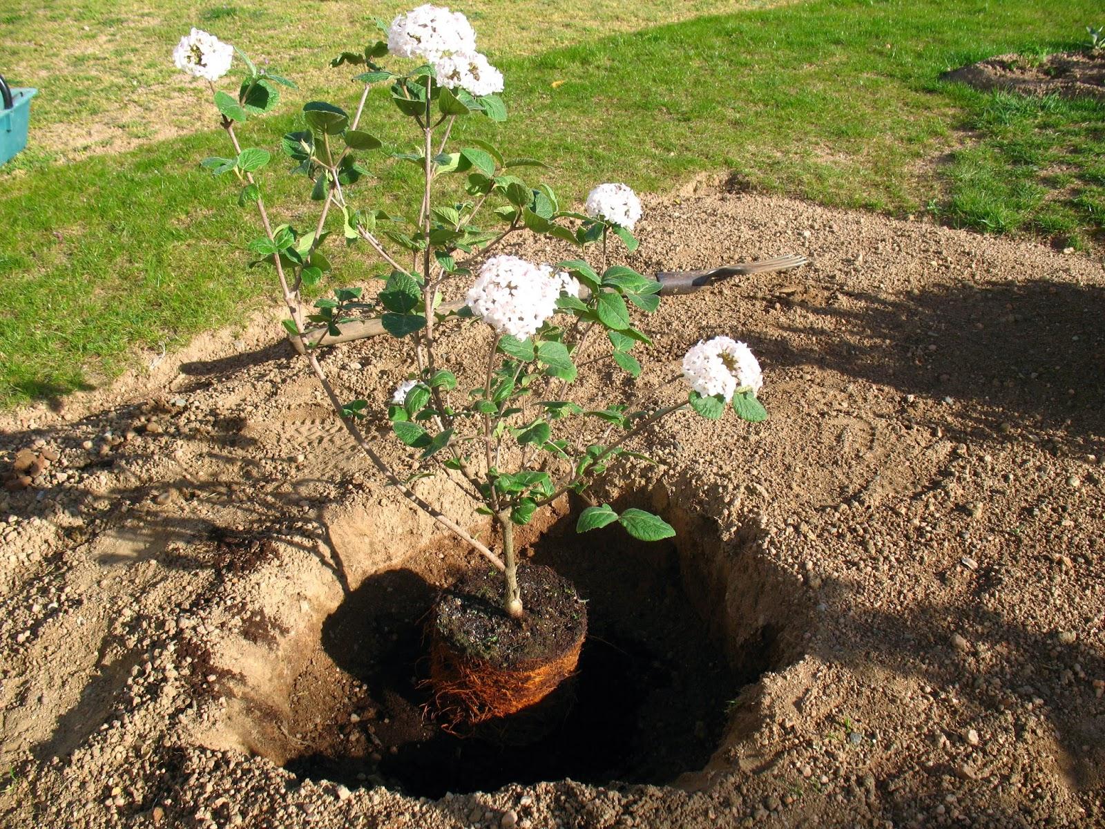 Roses du jardin ch neland plantation d 39 un arbuste for Jardin plantation