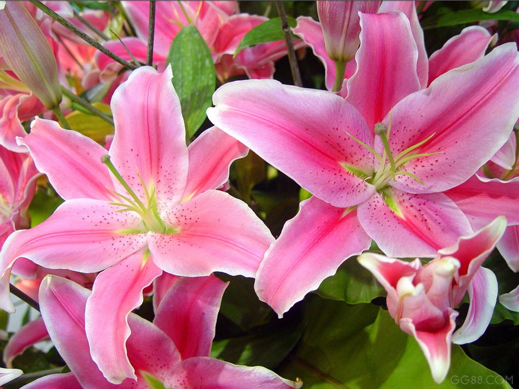 Romantic Flowers  Lily...
