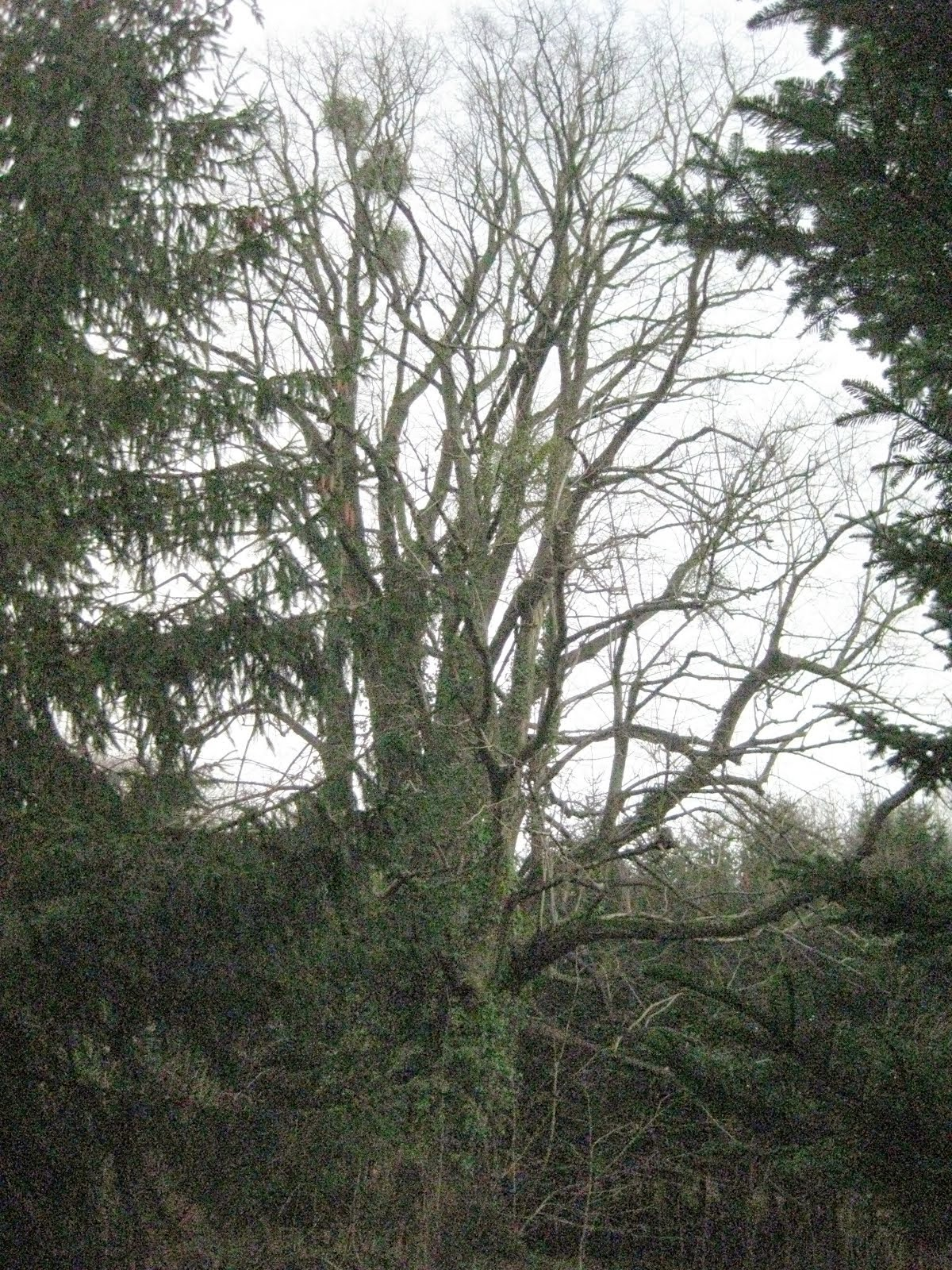 The towering lime tree, with its mistletoe