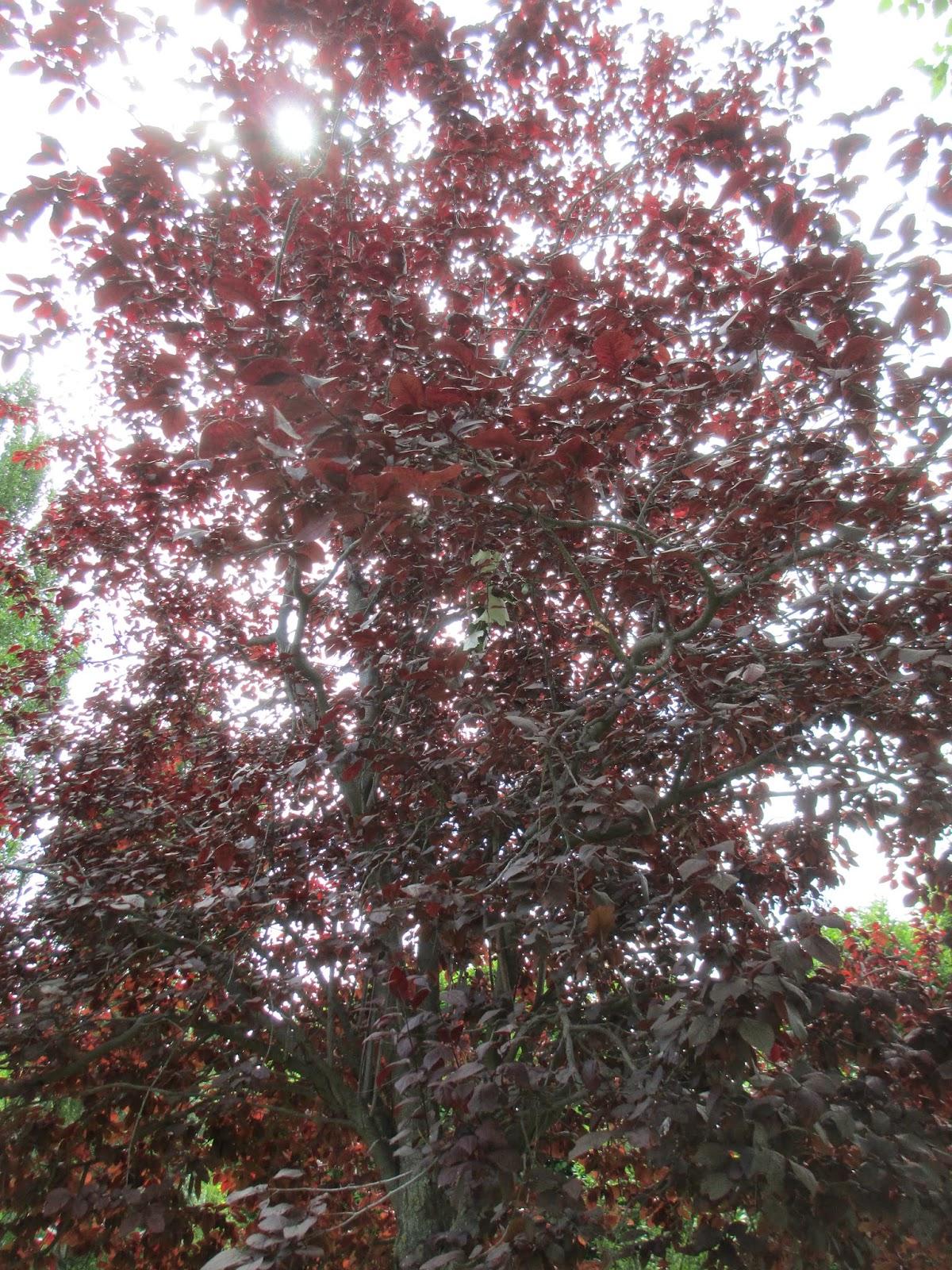 La mar de verde pronus cerasifera atropurpurea o ciruelo rojo for Arbol rojo jardin
