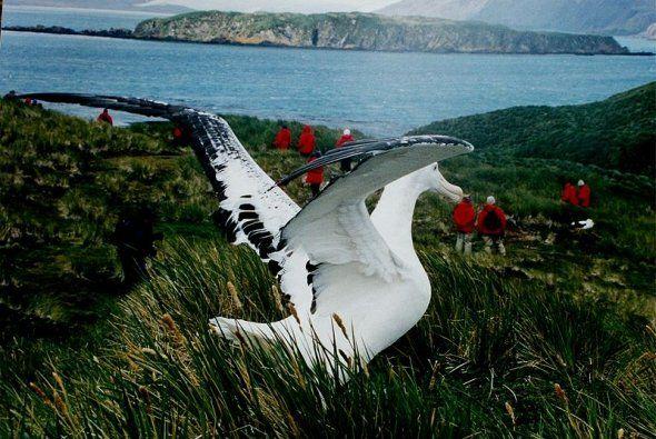10 Burung dengan Rentang Sayap Terlebar di Dunia: Albatross Pengembara (Diomedea exulans)
