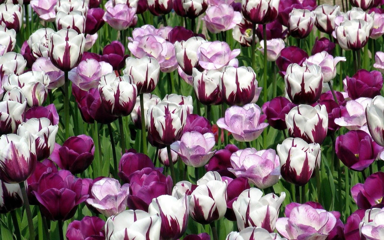 Foto van roze met witte tulpen