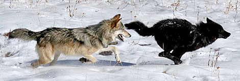 grey wolf anda black wolf