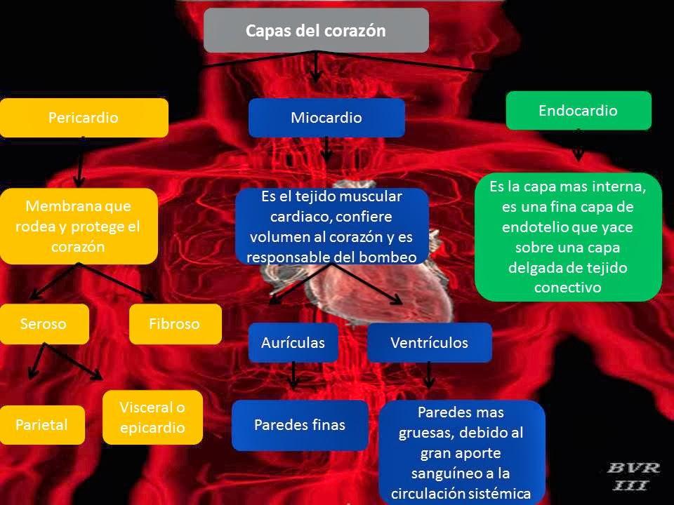 El Blog de Fisiologia de Israel Aramburo Lucas: Corazon: en este ...