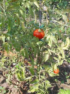 zolfo pomodori