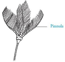 Ptilocrinus pinnatus
