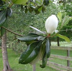Ahhh...a magnolia flower