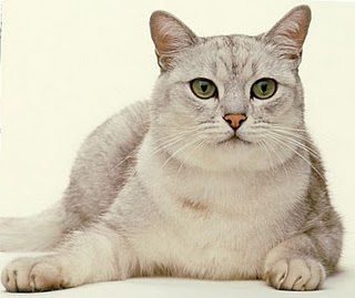 Burmilla Cat Pictures