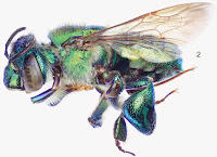 http://sciencythoughts.blogspot.co.uk/2014/05/two-new-species-of-orchid-bee-from.html