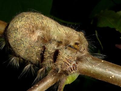 Paralebeda sp Sulawesi caterpillar