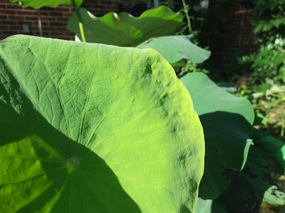 lotus leaf bumps, repel water
