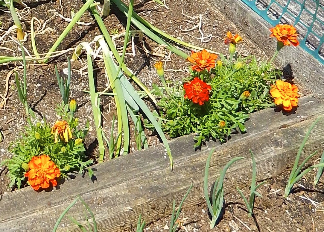 Powell River Books Blog: Planting Marigolds with Saved Seeds.