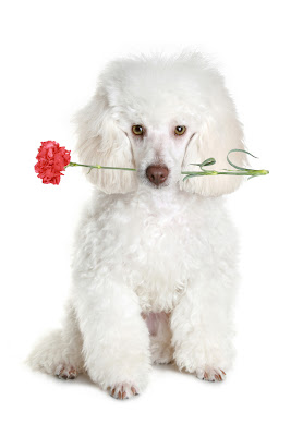 Perrito blanco con un clavel en la boca