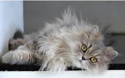 gambar kucing persia abu-abu