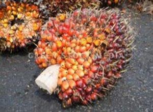fraksi-buah-kelapa-sawit.jpg