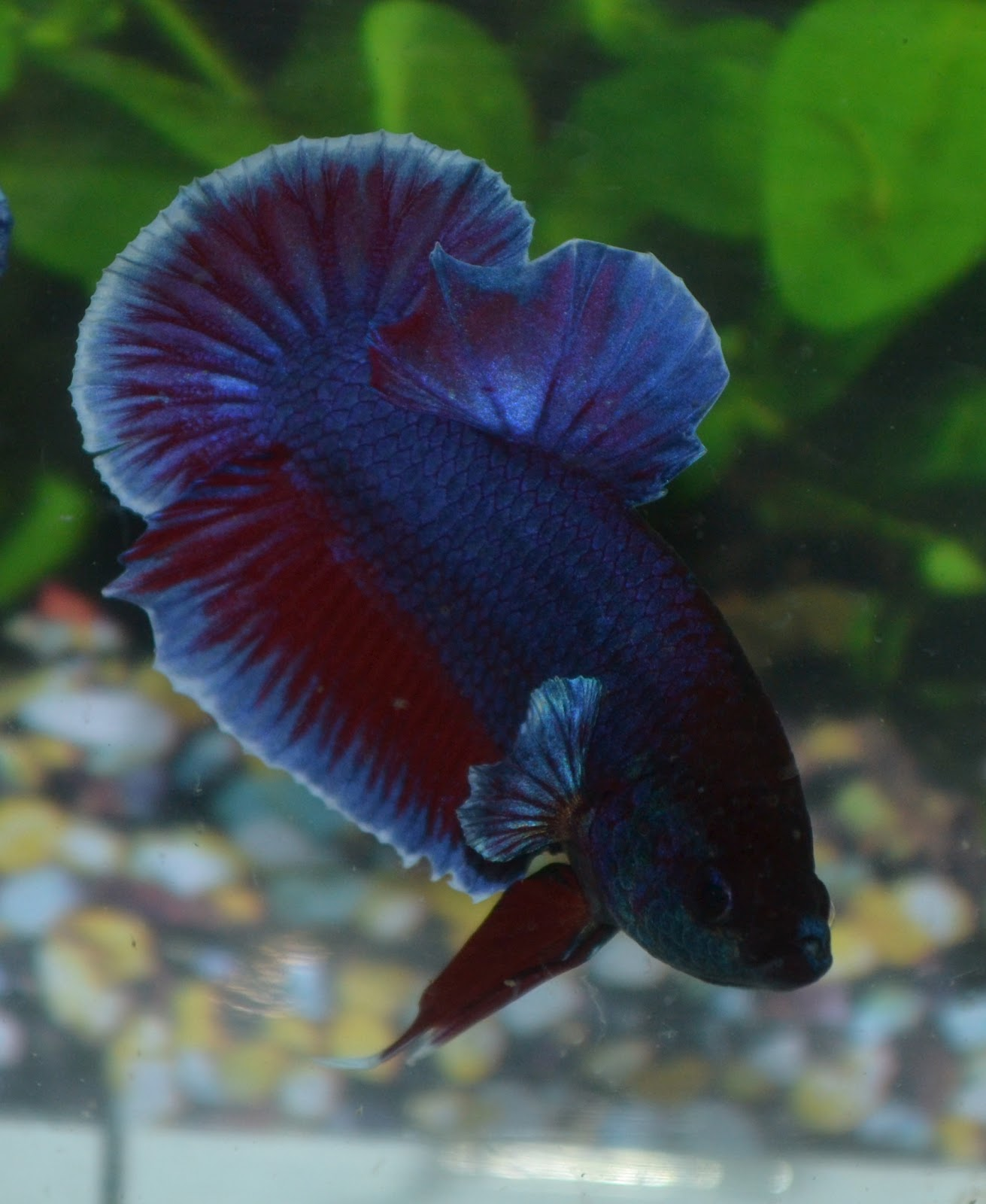 Betta fish for sale online joy studio design gallery for Betta fish online