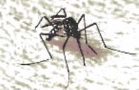 nyamuk