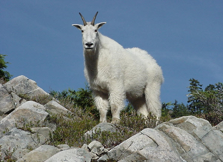 Mountain animals pictures - photo#8