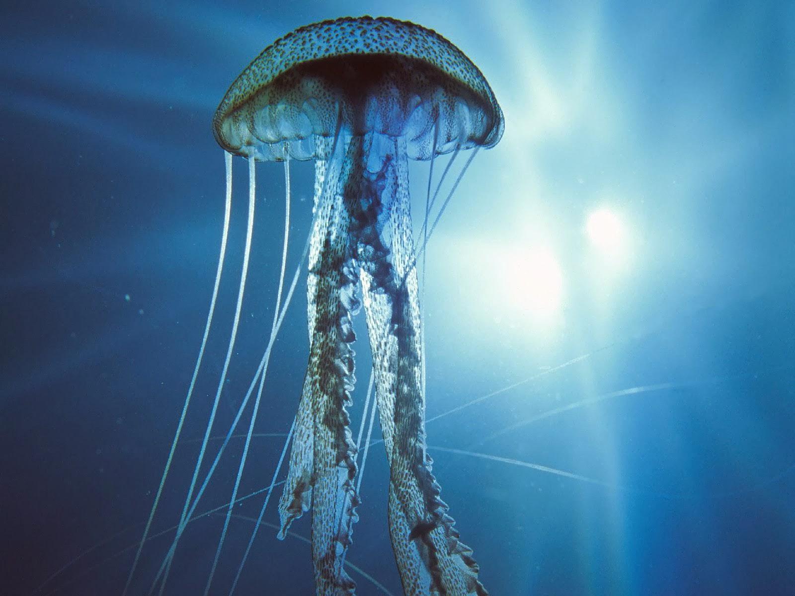 """<img src=""""http://1.bp.blogspot.com/-Vmm9jSJz6WQ/UtmQmJ5-hhI/AAAAAAAAIps/Y-FDxM-7vzY/s1600/electric-jellyfish.jpg"""" alt=""""jelly fish"""" />"""