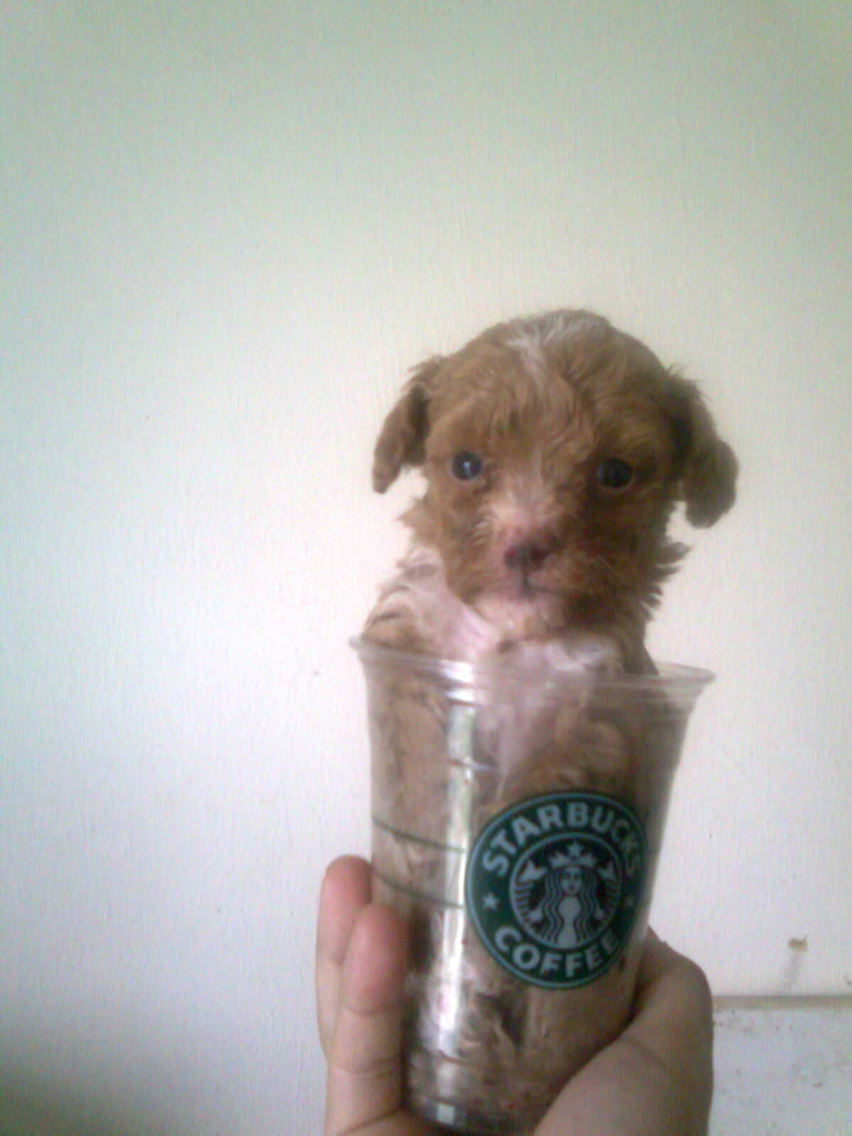 Tiny Toy Dogs : Diamond kennel homebred local teacup tiny toy poodle