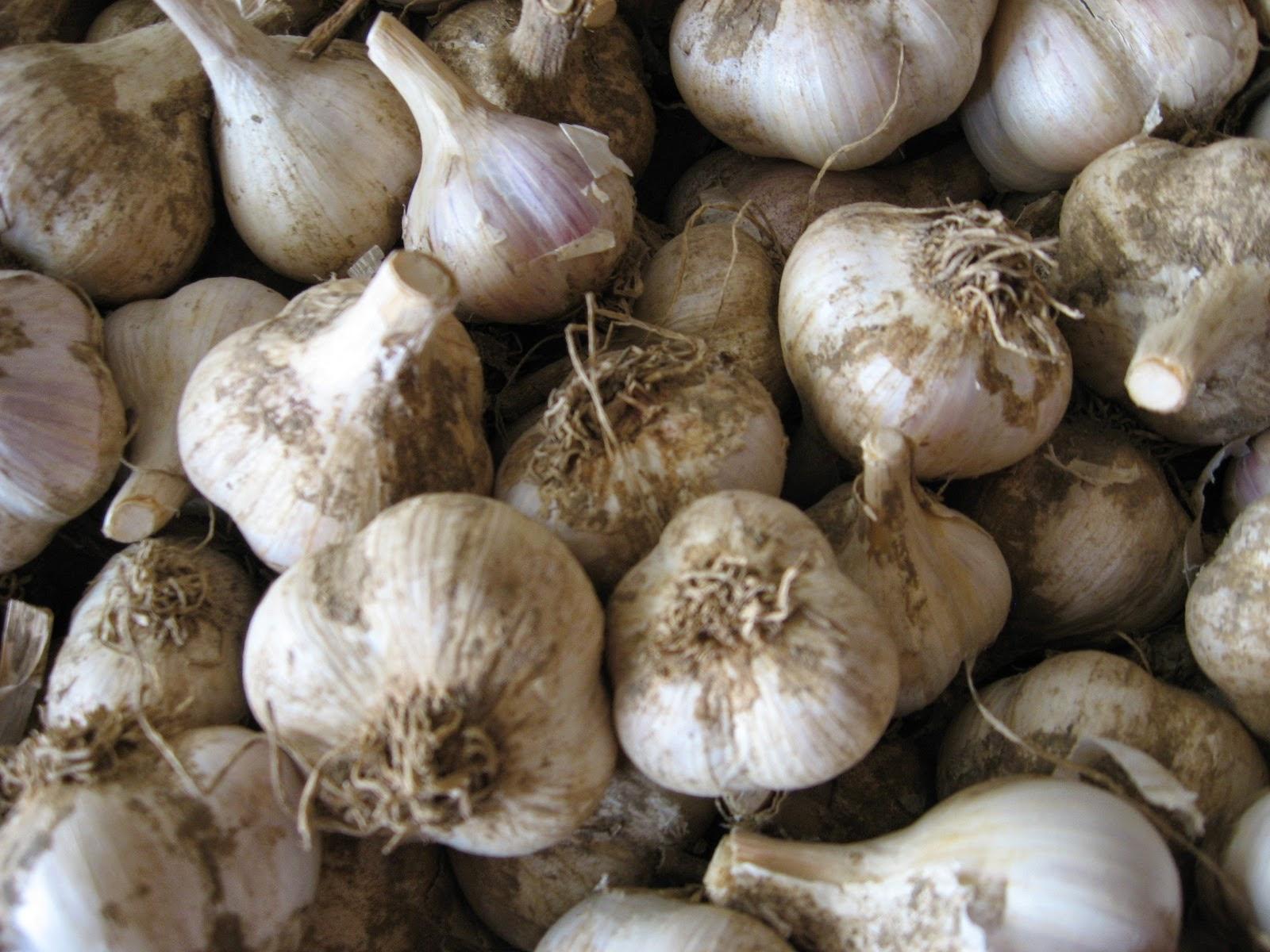 Freshly dried garlic