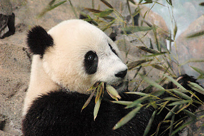 Photo Friday - Panda - February 18, 2011