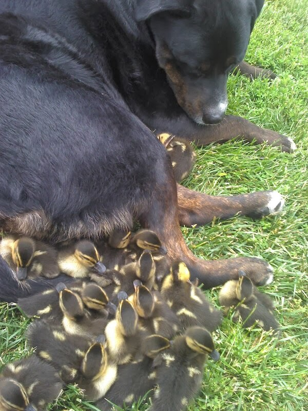 Funny animals of the week - 10 January 2014 (35 pics), baby ducks cuddle with dog
