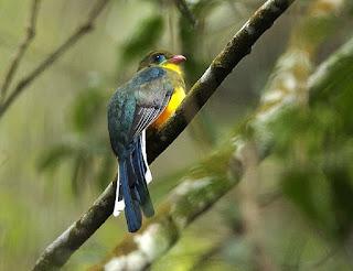 Burung Luntur Jawa atau Apalharpactes reinwardtii