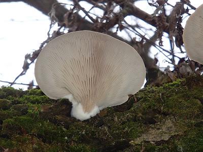 Boczniak ostrygowaty Pleurotus ostreatus