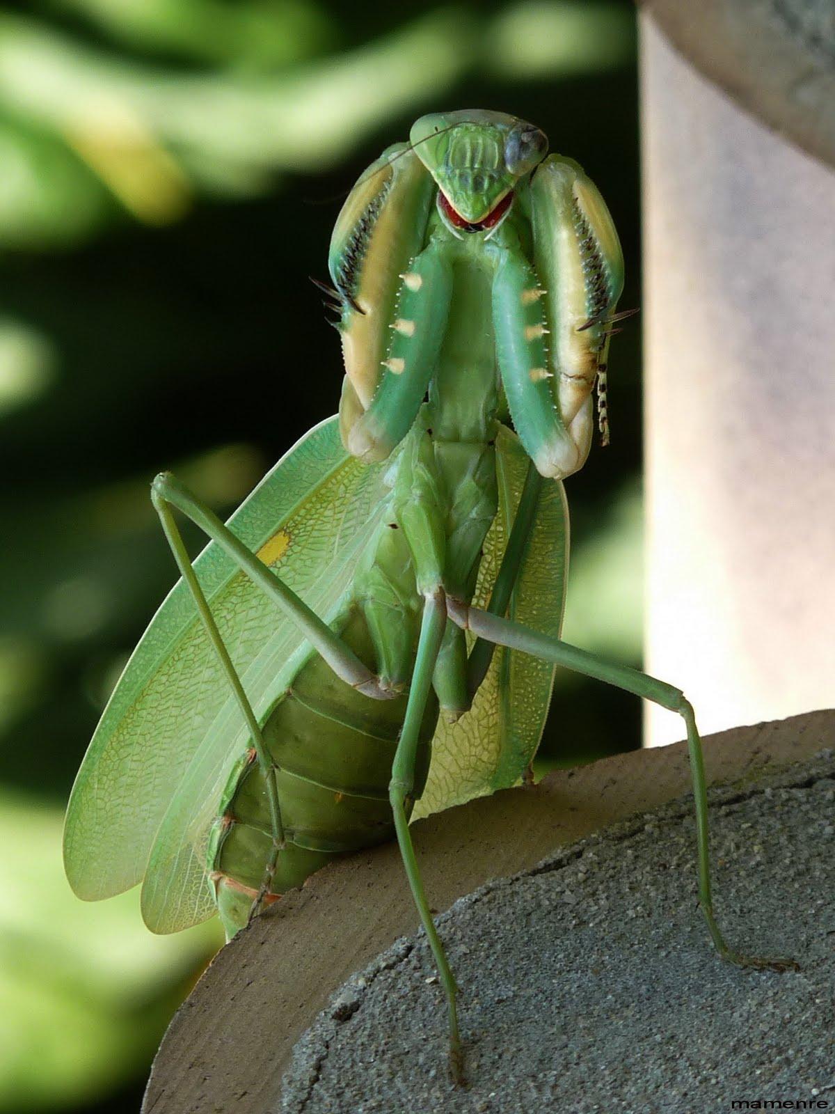 urruneando...: Mantis... rondando la esquina