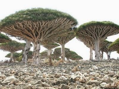 Dracaena Cinnabari (Pohon Darah Naga)