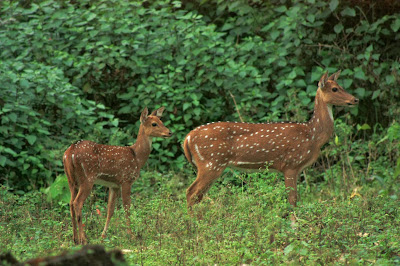 A spotted deer with its young one at K.Gudi, BRT tiger reserve, Karnataka