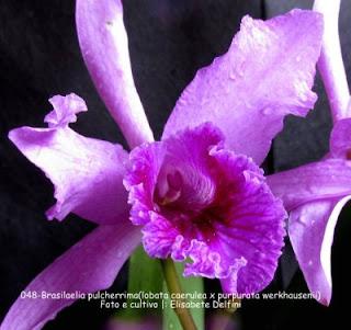 Brasilaelia pulcherrima(lobata coelurea x purpurata werkhuserii) do blogdabeteorquideas