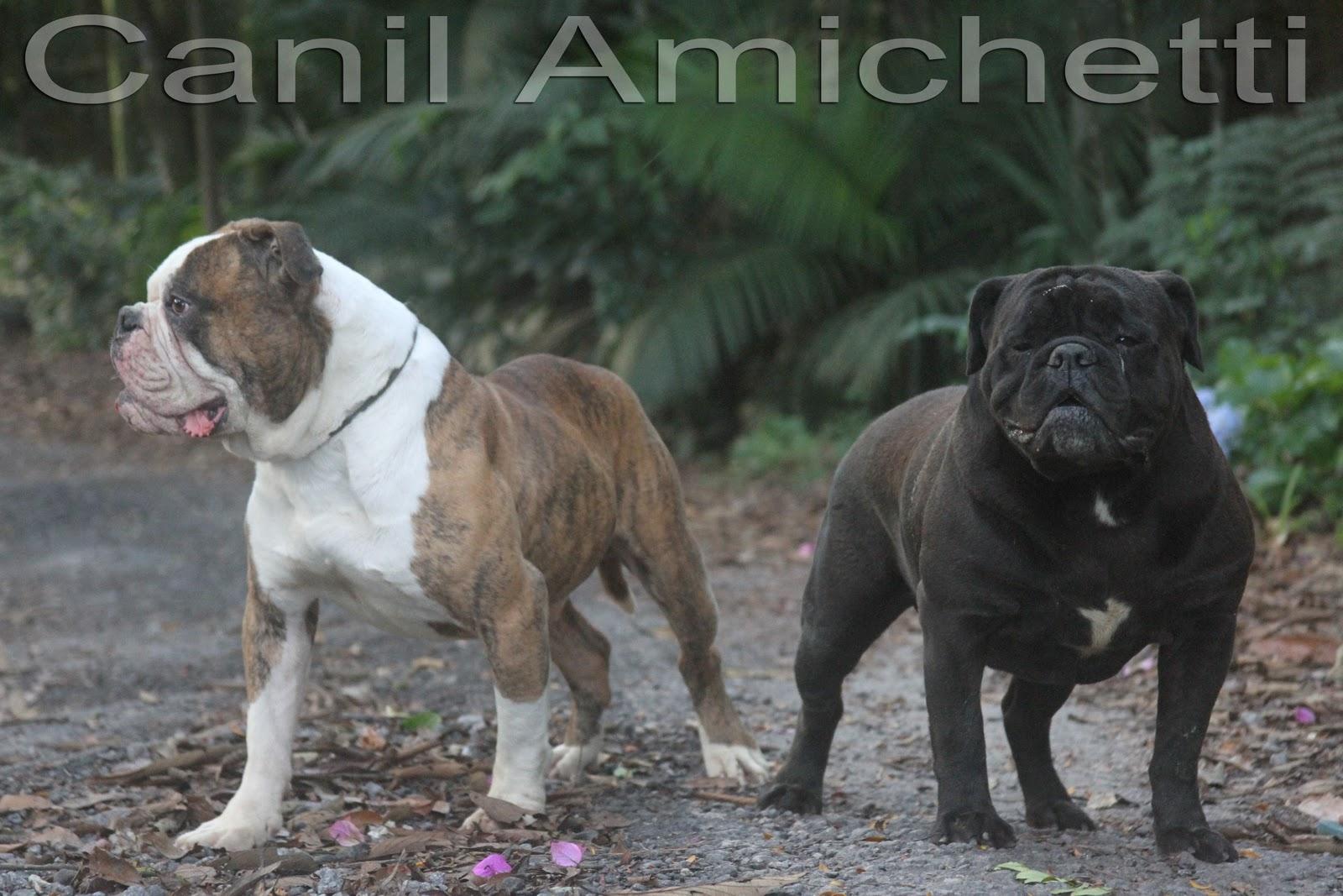 Bully type American Bulldog | Buldogue Americano American Bulldog Tipo