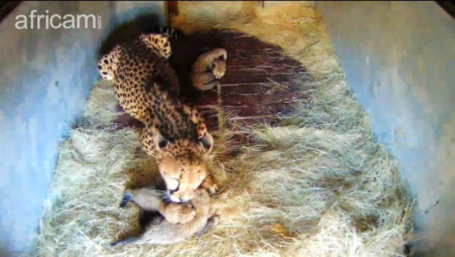 Watch 4 extremely rare King Cheetahs being born in South Africa (With Live Video)