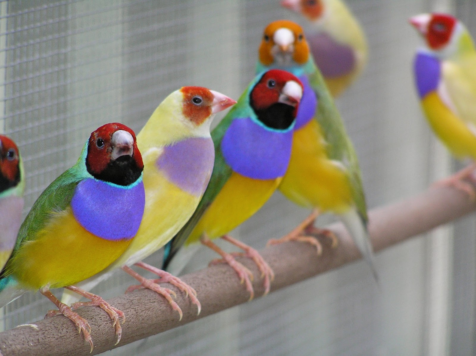 ฟาร์ม เลี้ยงนกฟินซ์ (Finch Birds) เลี้ยงง่าย เพาะขาย รายได้ดี