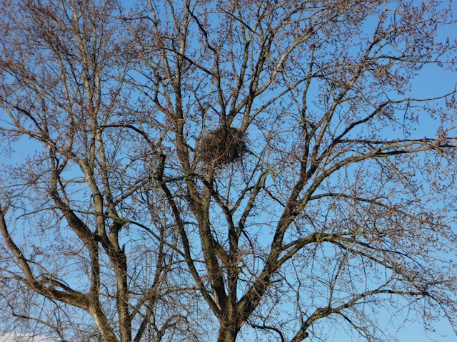 bald eagle nest in vancouver