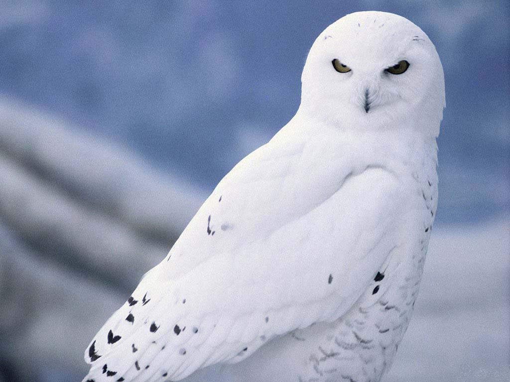 http://1.bp.blogspot.com/-Vq5qEuHCed0/TtF5FunoFSI/AAAAAAAABLA/OpxSGCmhHHY/s1600/Snow_white_owl.jpg