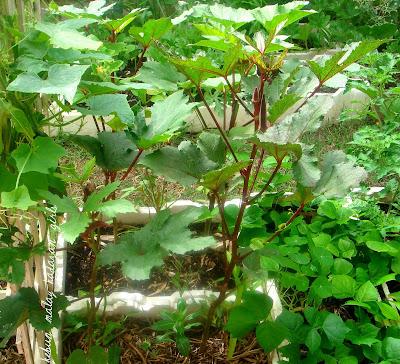 Okra Plant in Pot Around Your Okra Plants