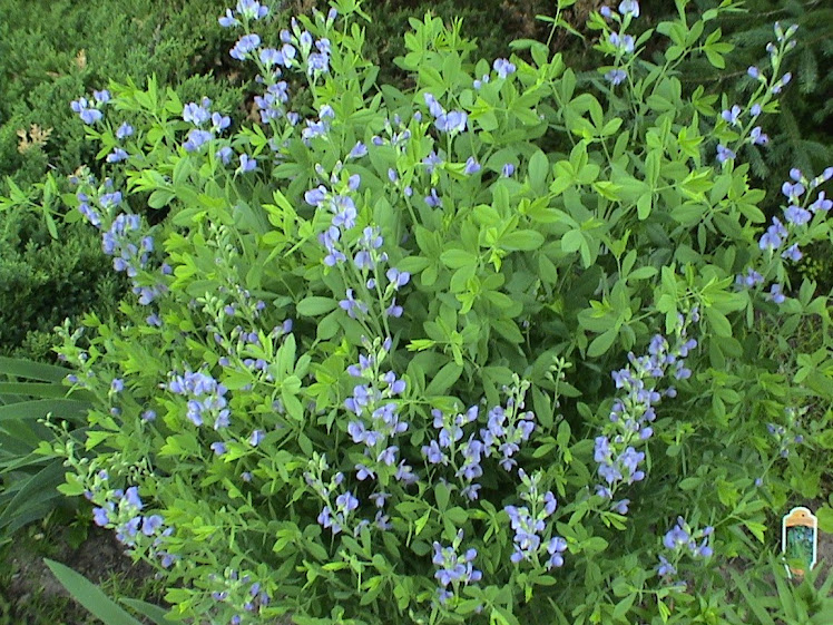 """Baptisia"" or ""Blue Indigo"